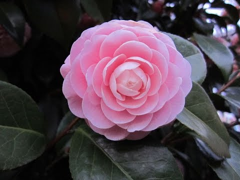 Amazing And Most Beautiful Camellia Tea Flowers