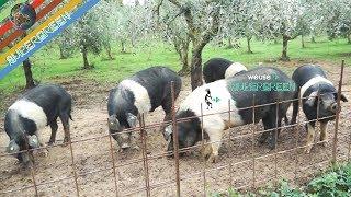 Allevamento semi brado di maiali di Cinta senese a Chianni (Ernesto e Il Bocca post frangitura olio)