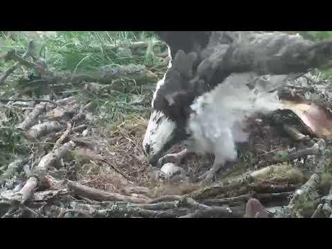 Lassie takes a bathroom break, osplet active ~ ©Scottish Wildlife Trust, Lowes