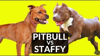 American PITBULL vs STAFFORDSHIRE Bull! Whats The Difference?
