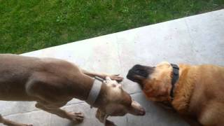 Weimaraner Brutal Attack On Spanish Mastiff