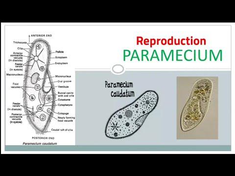 paramecium caudatum reproduction