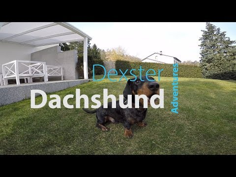 Dachshund Dexster playing and barking a lot.