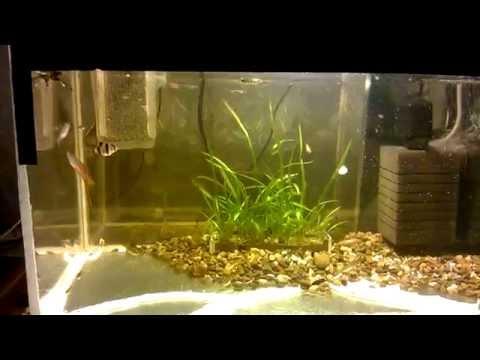 Размножение живородящих рыбок