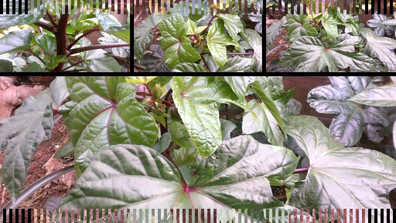 The edible hibiscus abelmoschus manihot youtube izmirmasajfo