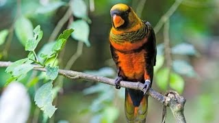 Top 10 Lory Bird
