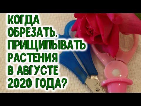 КОГДА ОБРЕЗАТЬ, ПРИЩИПЫВАТЬ РАСТЕНИЯ В АВГУСТЕ 2020 ГОДА? Агрогороскоп зеленых операций август 2020