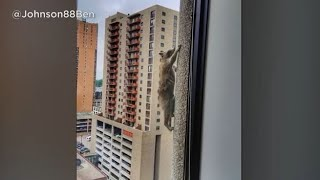 Daredevil Raccoon Scales 24-Story High-Rise in Minnesota