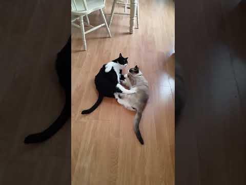 2 cats fighting RANDOM CAT VLOGS ( I got a new cat)