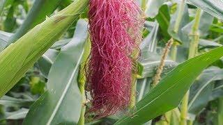 Wenn du einen Mais mit Haaren siehst, dann solltest du ihn schnell mitnehmen!