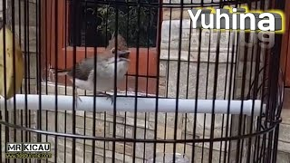Burung Yuhina Gacor