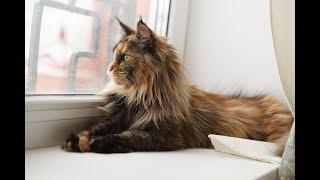 Самые большие кошки (домашние) породы Мейн кун из питомника | Порода больших кошек
