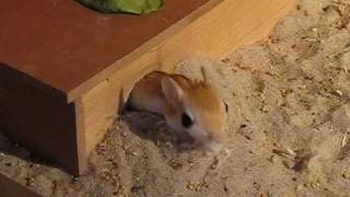 Funny jerboa mouse traffic