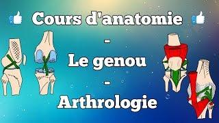 Anatomie du membre inférieur - Le genou