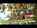 Berburu Pakan Burung Paling Mahal Diatas Pohon Tinggi Kroto Semut Rangrang  Mp3 - Mp4 Download