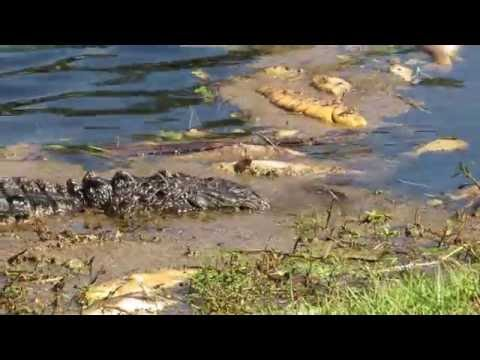 Alligator Playing with Dead Fish