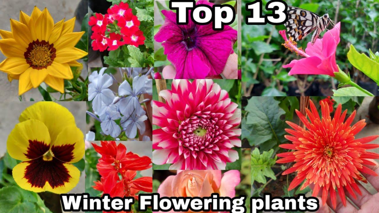 Top 13 Winter Flowering Plants Winter Season Flowering Plants
