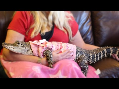 The World's Most Pampered Alligator