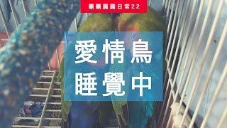 愛情鳥睡覺中 | 團團圓圓生活日常#22