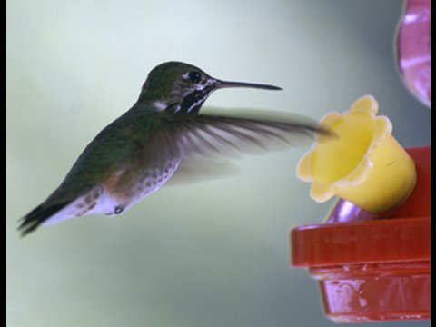 Hummingbirds - chirping their song