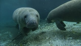 Hungry, Cold Manatees Gather in Warm Oasis