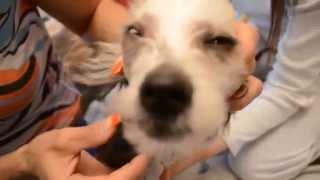 Стрижка китайской хохлатой собаки