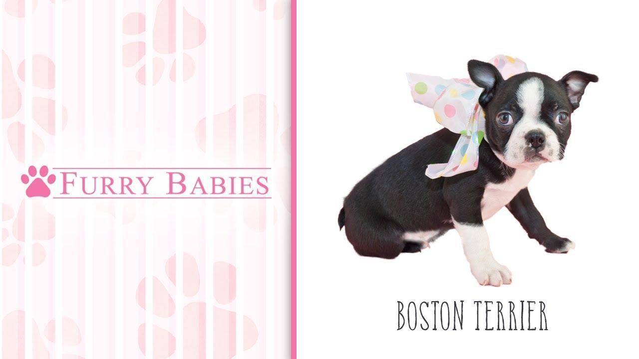 Boston Terrier Puppies - FurryBabies
