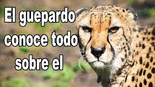 El Guepardo El animal terrestre más rápido del mundo