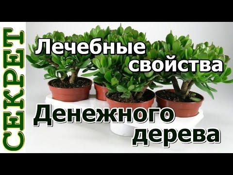 Лечебные свойства денежного дерева | расширение | варикозное | толстянка | денежного | свойства | лечебные | домашнее | денежное | нарывав | лечение