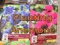 Planting Anemone Bulbs