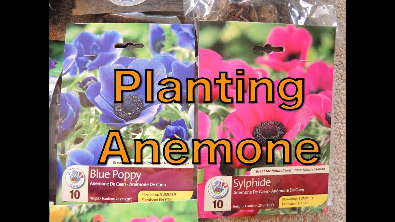 Planting Anemone Bulbs YouTube