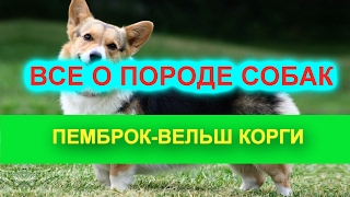Порода собак. Пемброк-вельш корги. Умная  порода собак