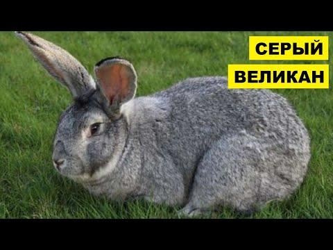 Разведение кроликов породы