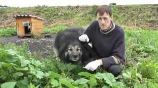 Собаки. Вакцинация против бешенства. Dogs. Vaccinated against rabies.
