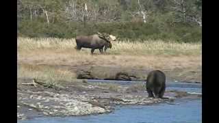 RECORD  BULL MOOSE Encounters GRIZZLY, alaska trophy moose brown bears, versus, vs