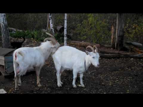 Как определить что коза загуляла