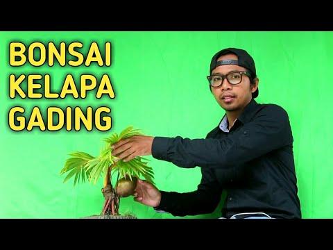 Green Screen Gagal Bonsai Kelapa Gading Pecah Daun Youtube