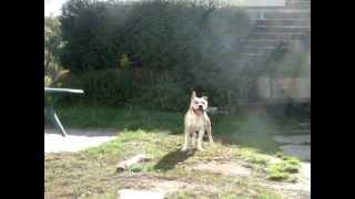 Saut En Hauteur American Staffordshire Terrier Mâle