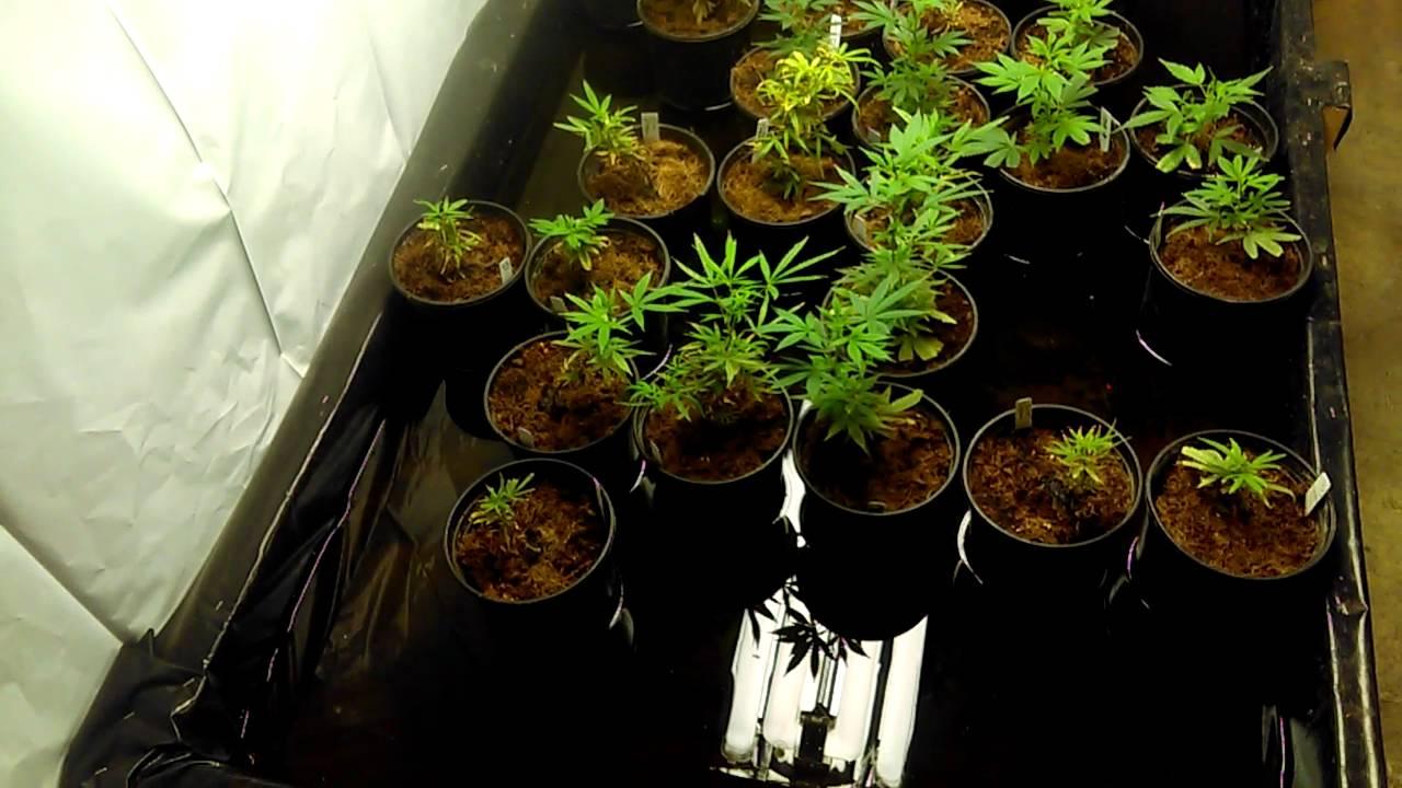 Aquaponic Cannabis Young Veg Room - YouTube