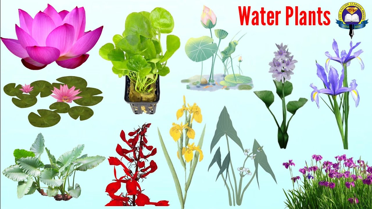 Water Plants Vocabulary   Aquatic Plants Name In English   Easy English  Learning Process