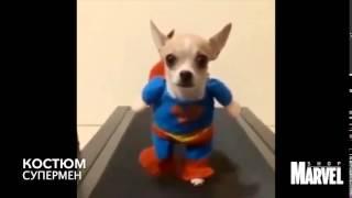 """Костюм """"Супермен"""" для собаки"""