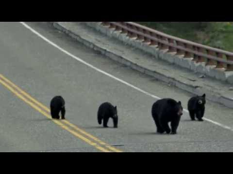Bears on the bridge. Yellowstone national park.