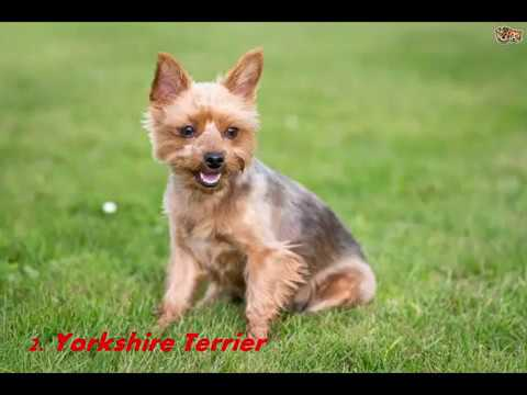 Top 10 Best Small Dog Breeds In The World