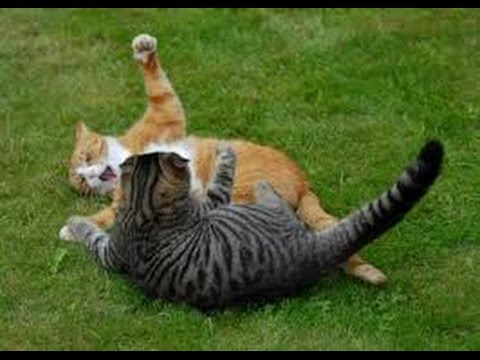 Муркины котята дерутся. Little cats play