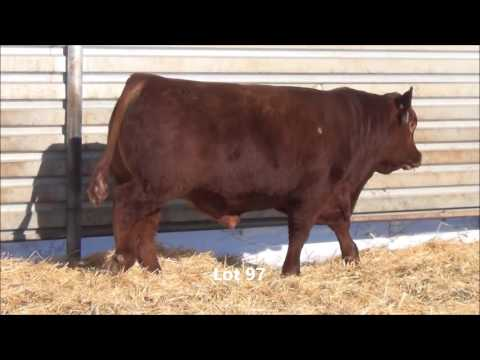 TNT SIMMENTAL RANCH 2017 LOTS 95 - 100 RED 1/2 SIM 1/2 AR BULLS