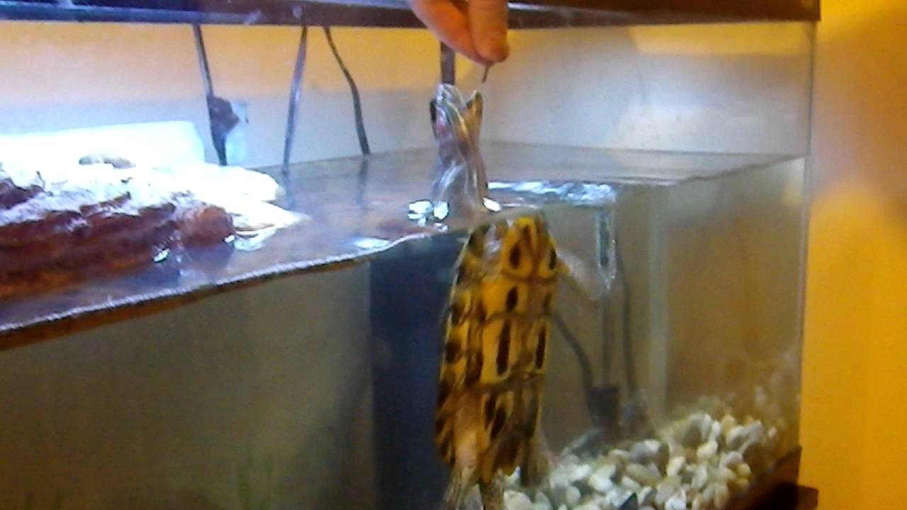 Pet turtle swimming out of the water for food - YouTube