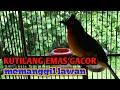 Suara Kutilang Emas Gacor Cocok Untuk Masteran Dan Pancingan Kutilang Malas Bunyi  Mp3 - Mp4 Download