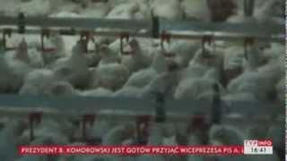 Ubojnia drobiu oszukała dostawców kurczaków (Puls Polski TVP Info, 03.12.2013)