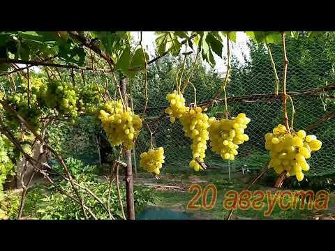 Виноград Ландыш - качество опыления и урожай