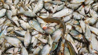 Rural Village Fishing | Huge Tiny Fish Separeting For Selling in The Market